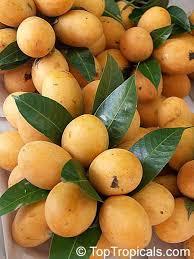 Chestnut Hill Nursery  Cold Hardy Citrus Trees  FRUIT TREES OF Small Orange Fruit On Tree