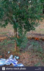 Campo di Fossoli (campo di concentramento di Fossoli), Ulivo delle colline  di Gerusalemme ha donato dagli ebrei del Fondo nazionale. Fossoli era una  deportazione camp in Italia durante la Seconda Guerra Mondiale.