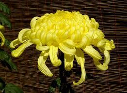 Ingles Floral Chrysanthemum Wikipedia