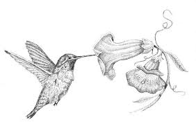 hummingbirds and flowers drawing. Delighful Hummingbirds Hummingbird Flower Drawing 1 Best Images  Collections Hd For In Hummingbirds And Flowers M