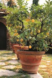 its golden yellow fruits fragrant flowers and attractive evergreen foliage make this tree more than just a practical crop grow it in full sun in rich
