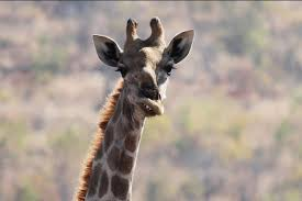 Image of: Baby Giraffe Down Syndrome Animals Giraffe Tdf Blog Down Syndrome Animals Giraffe Tdf Blog