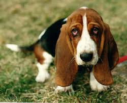 at the top of the list is the bet hound you can find this breed sporting droopy eyes and long ears that drag on the floor when it walks these dogs have