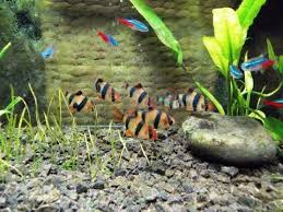Tiger Barb Compatibility Chart 8 Best Tank Mates For Tiger Barbs Fish Tank Advisor