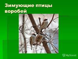 Презентация на тему Зимующие и перелетные птицы Окружающий мир  2 Зимующие птицы воробей