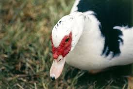 muscovy burke s backyard