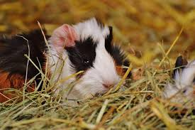 what to line a guinea pig cage with