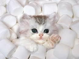 marshmellow kitten