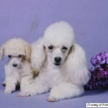 breed info toy poodle