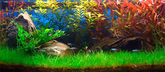 eleocharis acicularis flowers eleocharis acicularis forma submersa eleocharis acicularis forma submersa aquarium plants