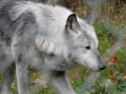 emaciated wolf. Simple Emaciated Wolf Howls At Haven On Emaciated G
