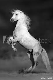 white horse rearing. Perfect Horse White Horse Rearing Up In Desert Storm On Horse Rearing T