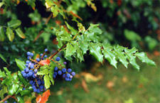 oregon grape tincture uses