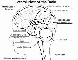 Image Result For The Biology Coloring Book Pdf Brain
