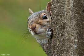 Image result for grey squirrel uk