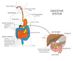 quick assignment on the digestive system and how the different digestive system liver