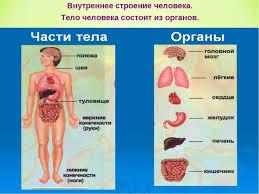Презентация к уроку окружающего мира во классе по программе  Тело человека состоит из органов