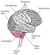 Overview Of Cerebral Function Neurologic Disorders Msd