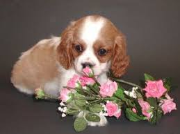 cavalier king charles spanielfor for puppies for owner michael shirley
