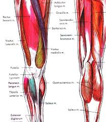 Leg Muscles Diagram Starting Know About Wiring Diagram