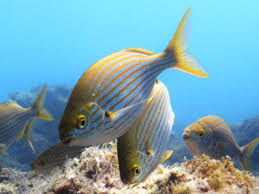 Lanzarote Fish Chart The 10 Most Common Fishes Of The Canary Islands Diving