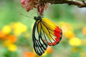 real beautiful colorful butterflies. Interesting Real ColourfulButterfly On Real Beautiful Colorful Butterflies T