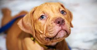 brown red nose pitbull puppies. Unique Pitbull Red Nose Pitbull To Brown Red Nose Pitbull Puppies
