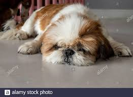 Lazy dog. Funny Shih tzu dog sleeping ...