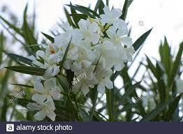 White Oleander In Garden Stockfotos und -bilder Kaufen - Alamy