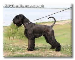 Giant Schnauzer Size Chart Giant Schnauzer Dog Breed Profile Size Weight