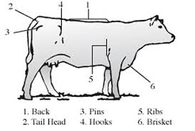 beef cow outline.  Outline Cow Fig1 Throughout Beef Outline VCE Publications  Virginia Tech