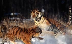 tiger wallpaper desktop. Delighful Desktop HD Wallpaper  Background Image ID364955 1600x1200 Animal Tiger With Desktop R