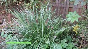Pennisetum Alopecuroides Viridescens P More Tuin Afbeeldingen