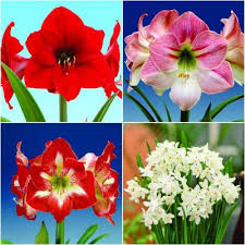 White Paper Flower Bulbs Bloomsz Paper Whites Ziva Bulbs 7 Pack 05936 The Home Depot