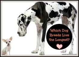 which dog breeds live the longest colin brown hd big dog breeds list pics