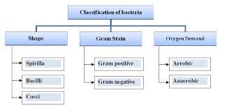 Bacteria Classification Classification Of Bacteria Download Scientific Diagram