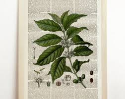 vintage coffee plant illustration. Beautiful Plant Coffea Arabica Print Coffee Plant Poster Kitchen Botanical Illustration  Caffeine Bean Green Vintage Decor Retro Art Upcycled Book Dictionary Intended T
