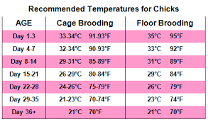 Poultry Feed Chart Brooding Requirements For Poultry Chicks Alternative