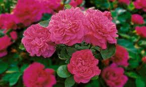 Fragrant English Roses  David Austin RosesFragrant Rose Plants