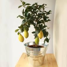 3ft lemon tree