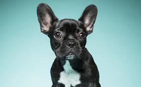 here s why los angeles is obsessed with french bulldogs los angeles magazine