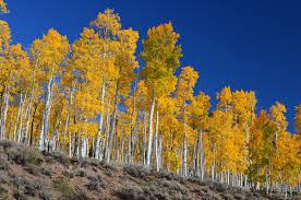 List Of Oldest Trees Wikipedia