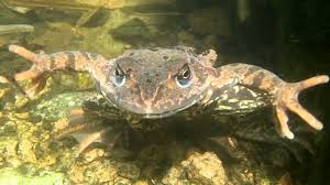 Bildresultat för simmande groda