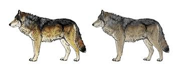 Drawn Wolf How To Draw A Wolf Head And Shoulders Knees And Paws