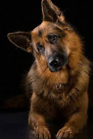 a beautiful long haired german shepard with the clic head tilt everything you want to know about gsds health and beauty remendations