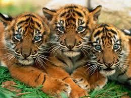 cute baby tiger wallpaper. Beautiful Baby Nothing Found For Cute Baby Tiger Wallpaper Background  Inside