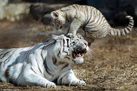 baby white tiger. Brilliant Tiger Newborn White Bengal Tiger Really Wonu0027t Give Its Poor Mum A Break To Baby White Tiger