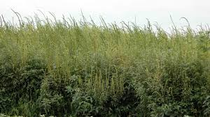 Palmer Amaranth Remain Vigilant For Palmer Amaranth The Bulletin Pest Management