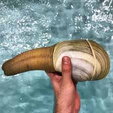 Ninja Food - Live geoduck is one of the ...
