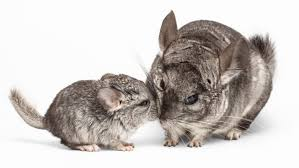 Life Stages Of Chinchillas